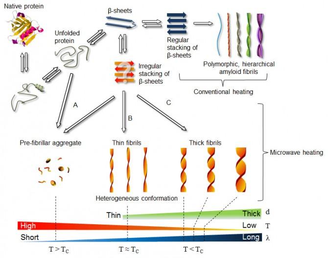 연구팀은 마이크로파를 펄스형태로 쪼여 아밀로이드 섬유의 구조를 원하는 대로 변형시킬 수 있는 방법을 찾아냈다. - 성균관대 제공